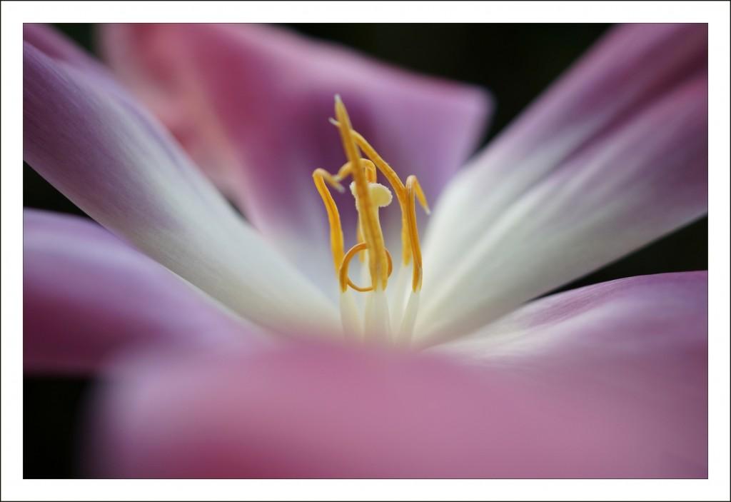 tulipe_1