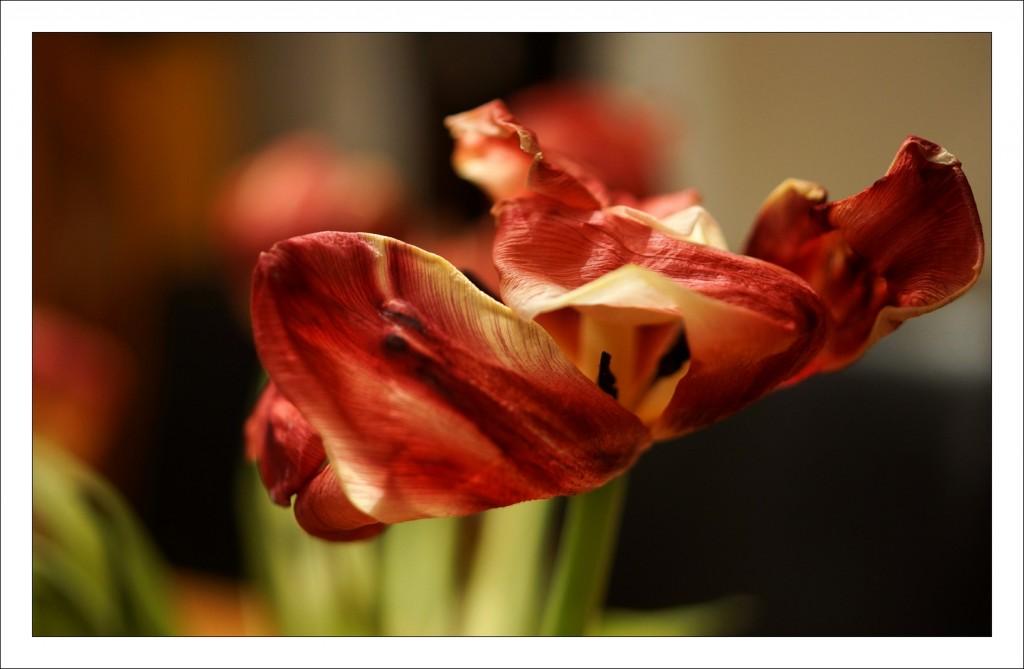 tulipe_flamenco (1)
