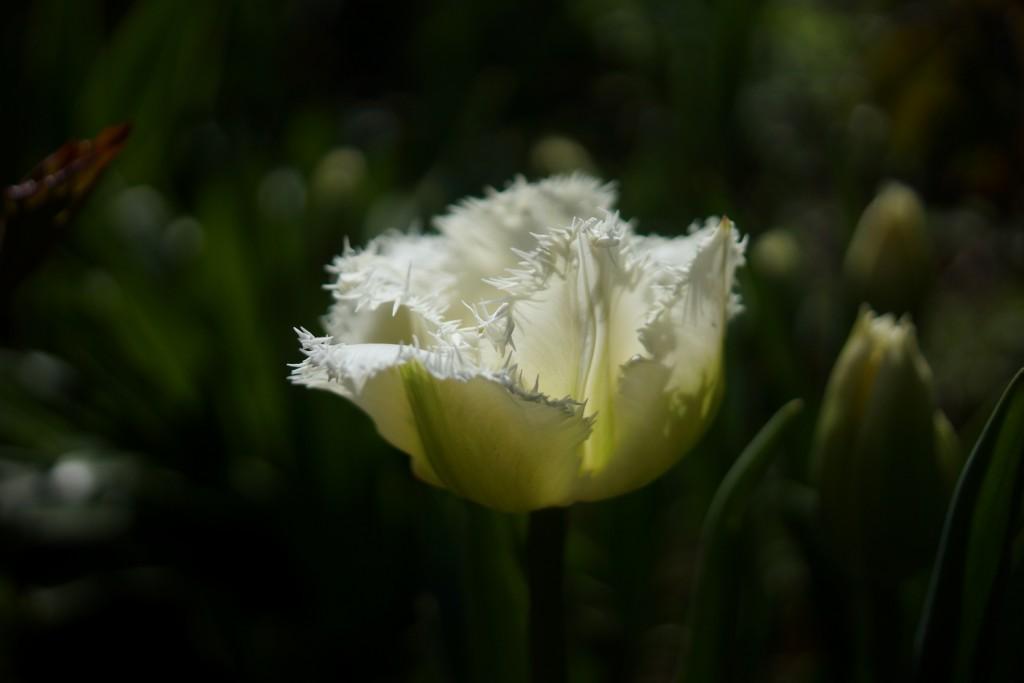 Tulipe blanche (2)