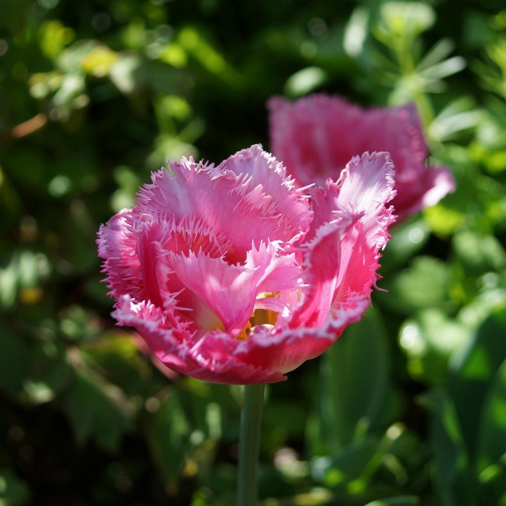 Tulipe rose (5)