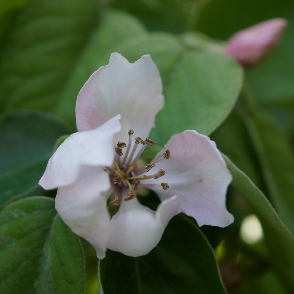 fleur de cognassier