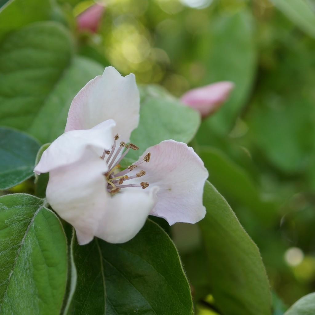 fleur de cognassier (5)