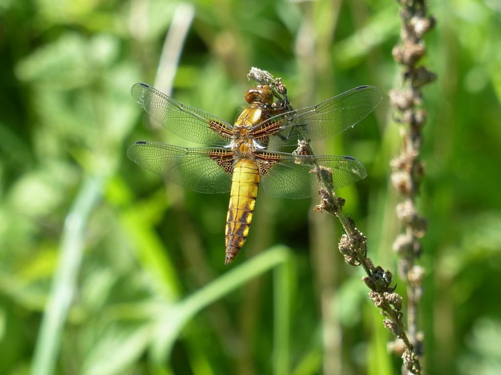 libellule déprimée (2)