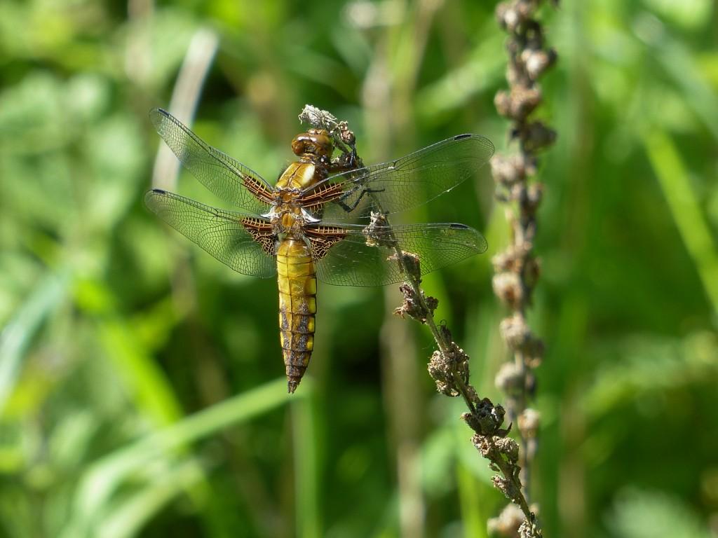 libellule déprimée (3)