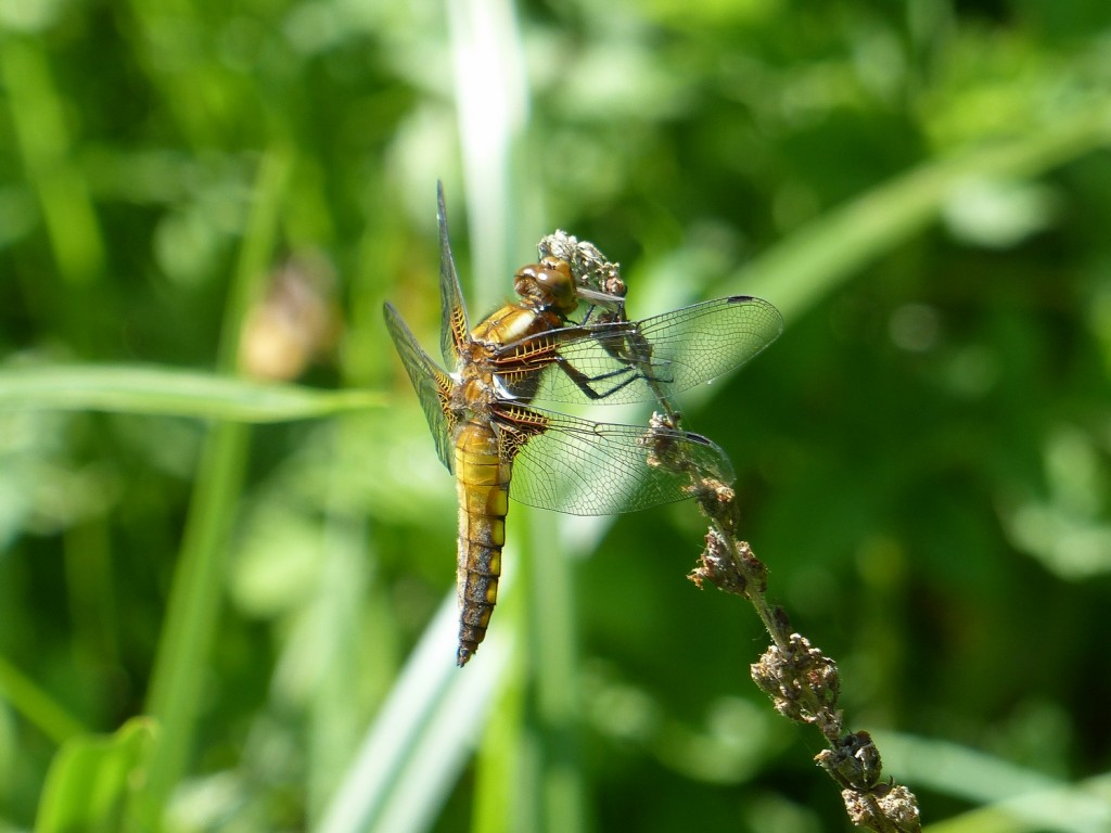 libellule déprimée (4)