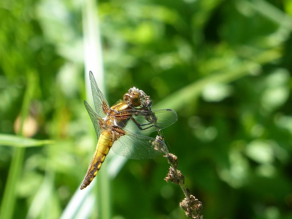 libellule déprimée (5)