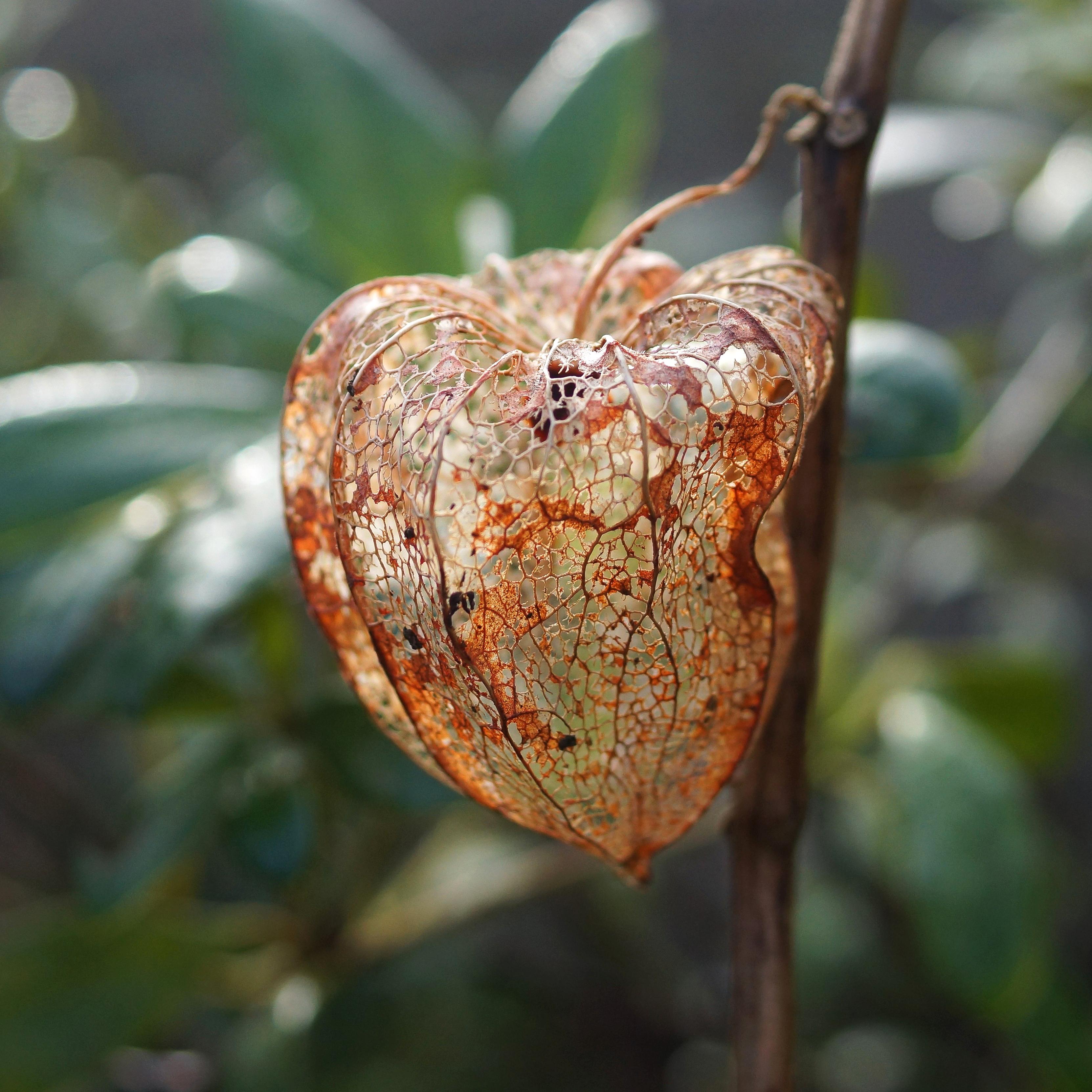Physalis alkekengi amour en cage capteuse - Amour en cage plante ...