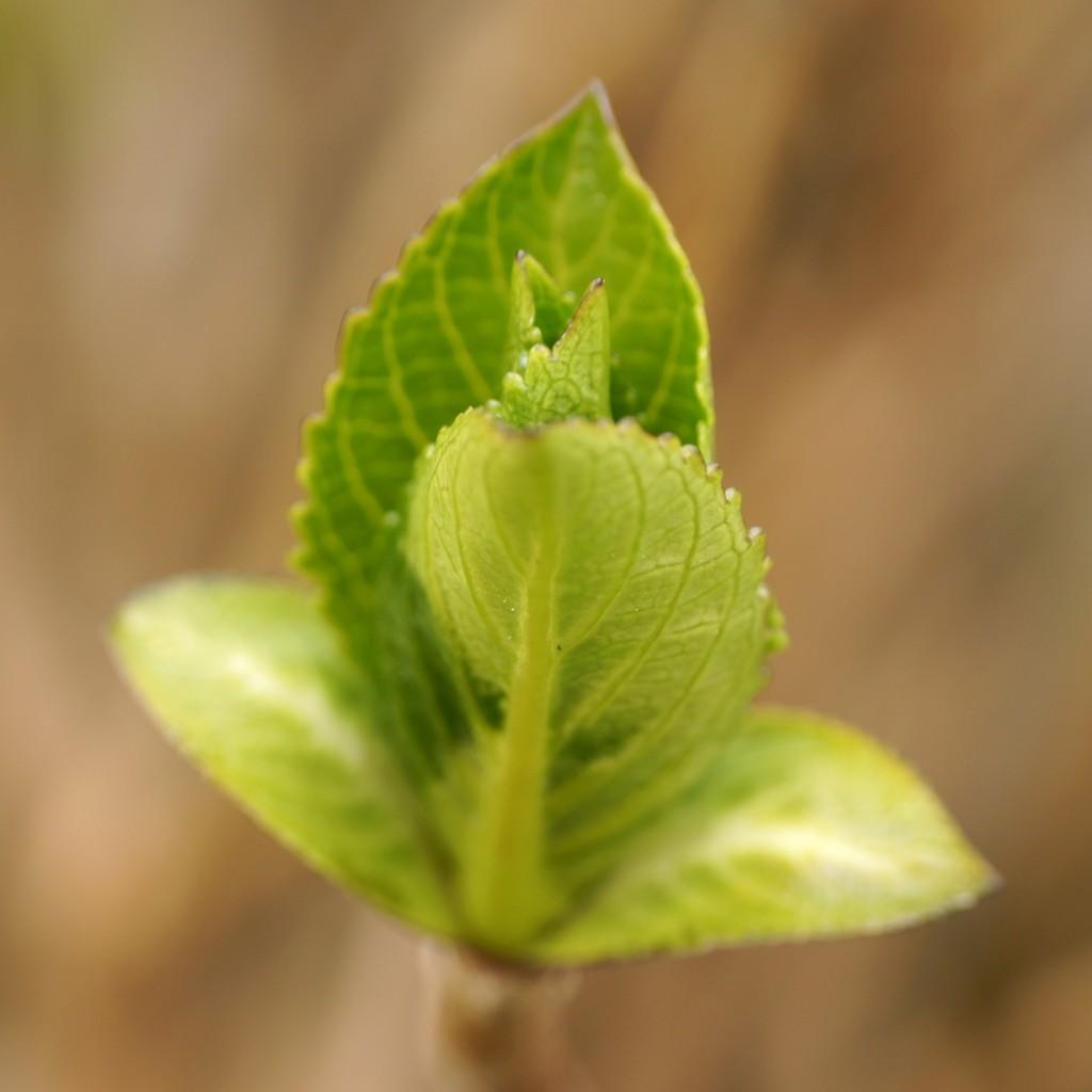 bourgeon hortensias (2)