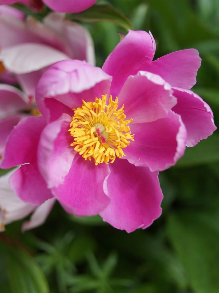 pivoine rose  (3)