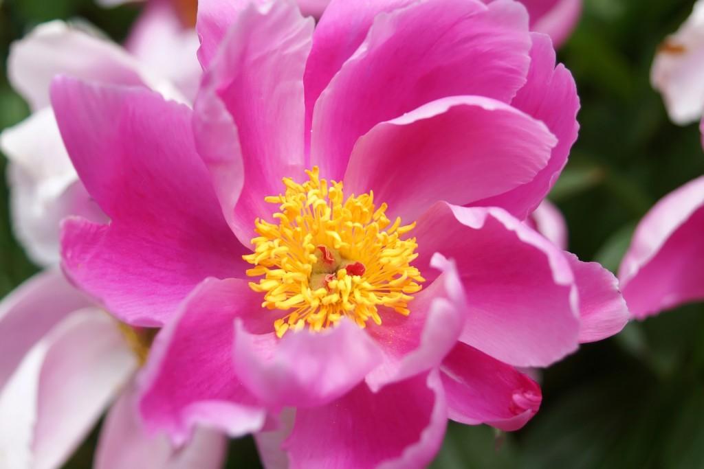 pivoine rose  (4)