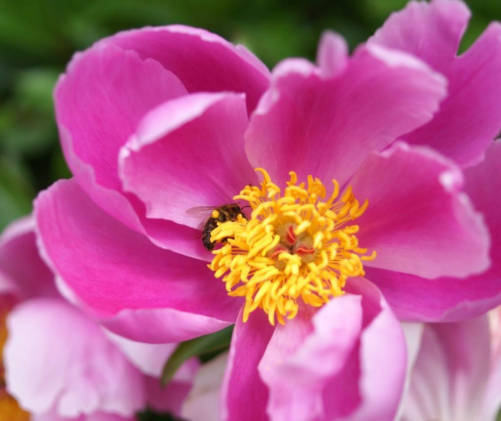 pivoine rose  (5)