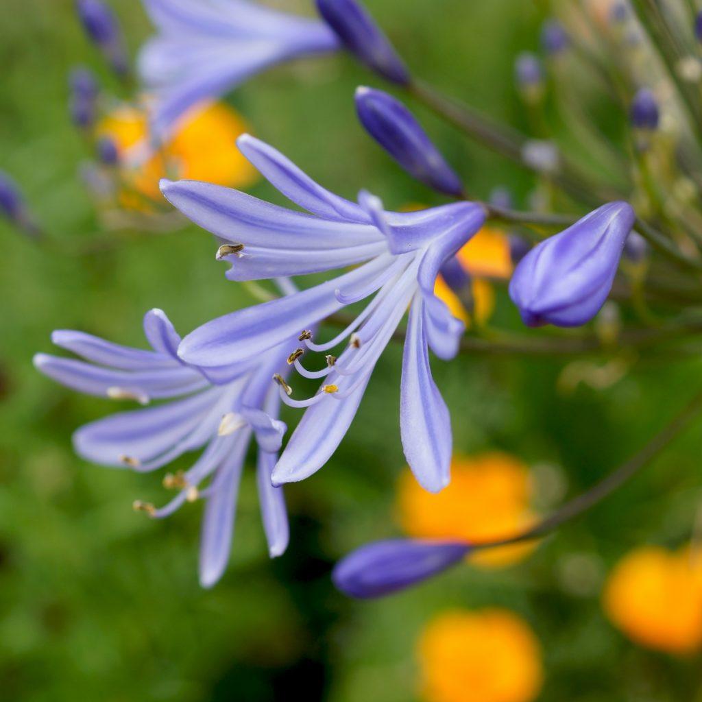 Agapanthe bleue (10)