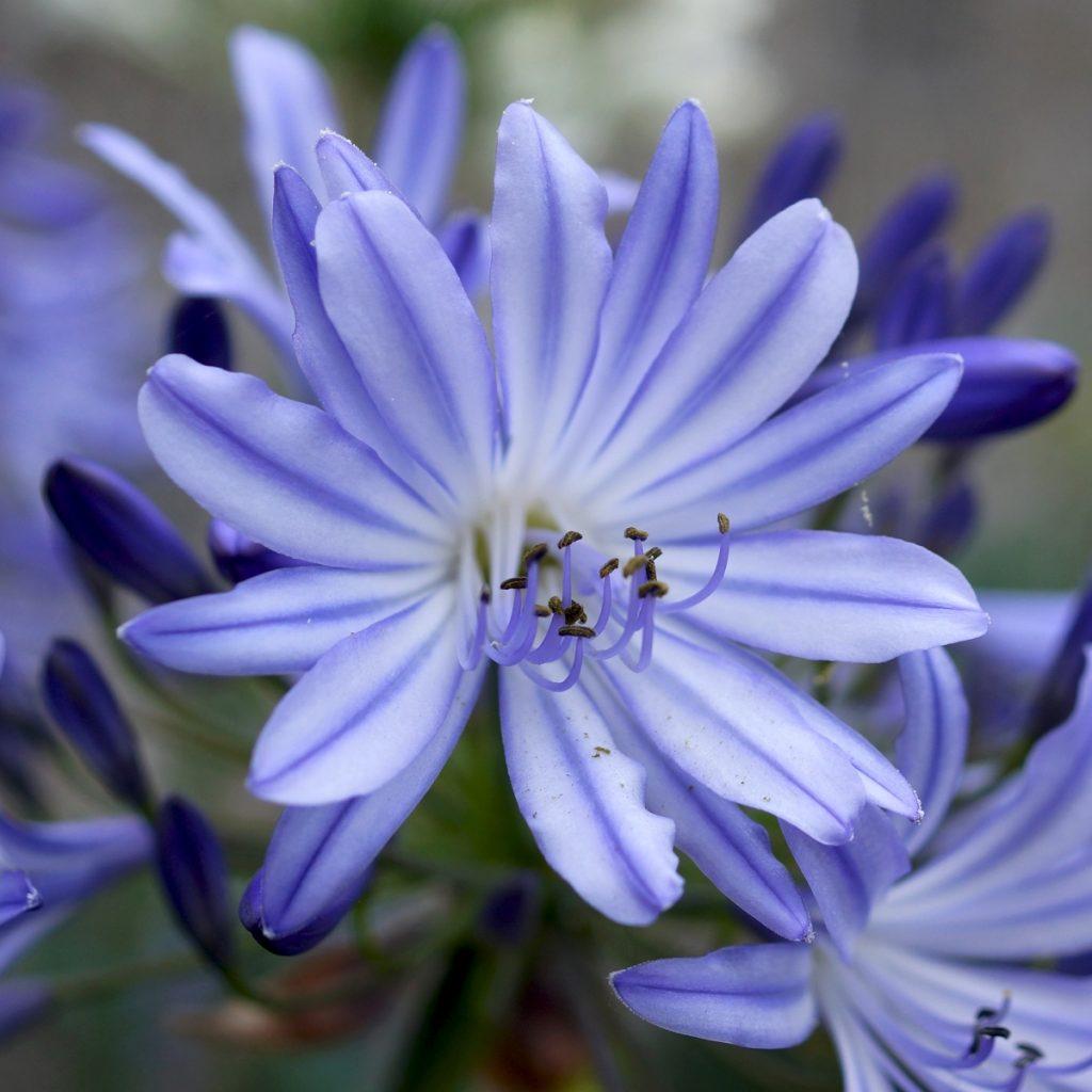 Agapanthe bleue (15)