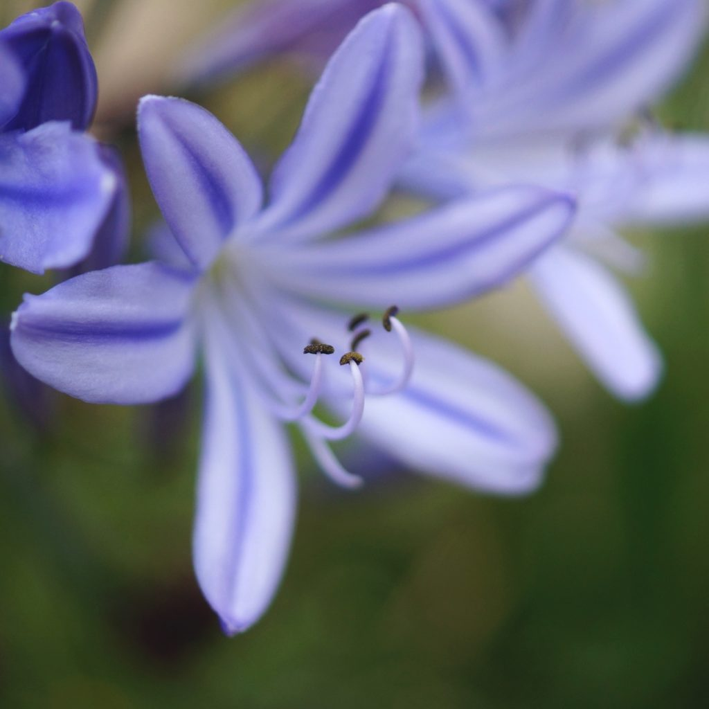 Agapanthe bleue (16)