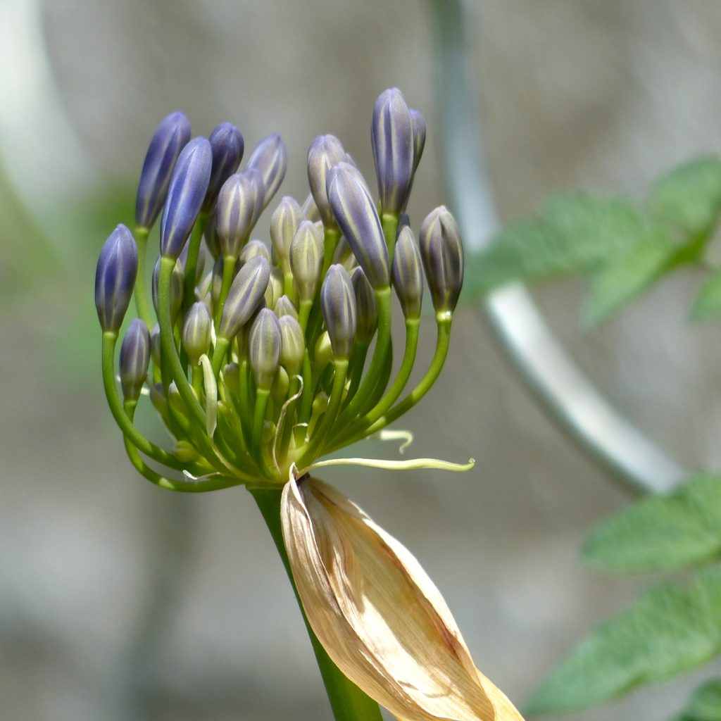 Agapanthe bleue (19)