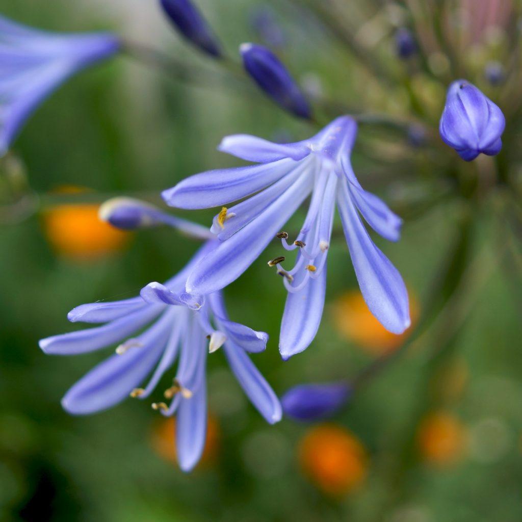 Agapanthe bleue (4)