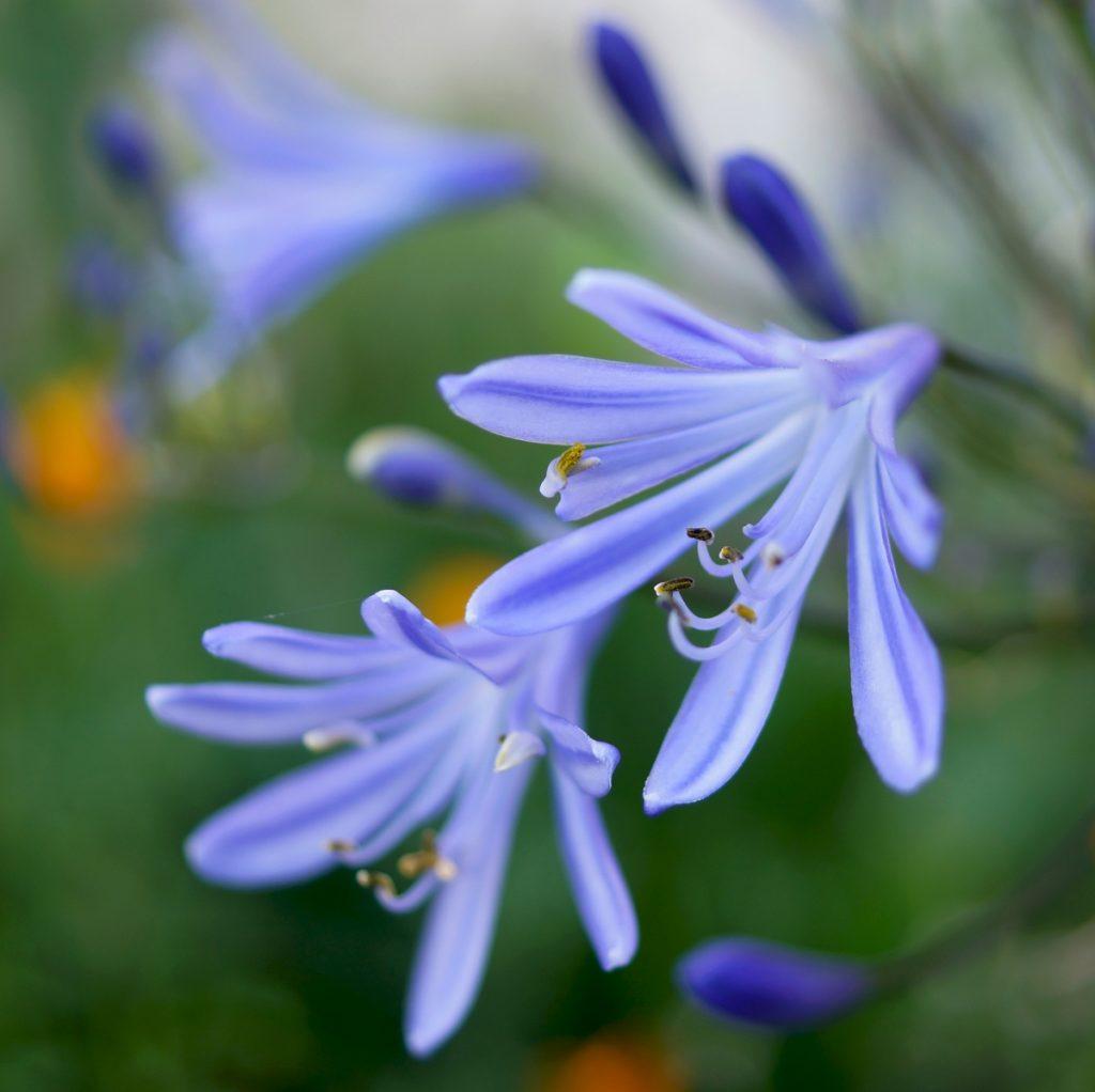 Agapanthe bleue (6)
