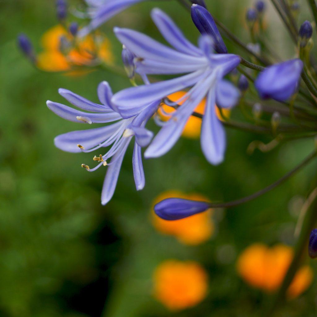 Agapanthe bleue (8)