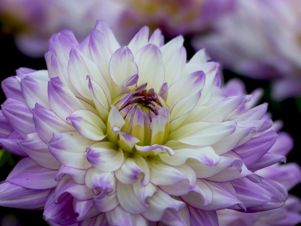 violet-2-copie