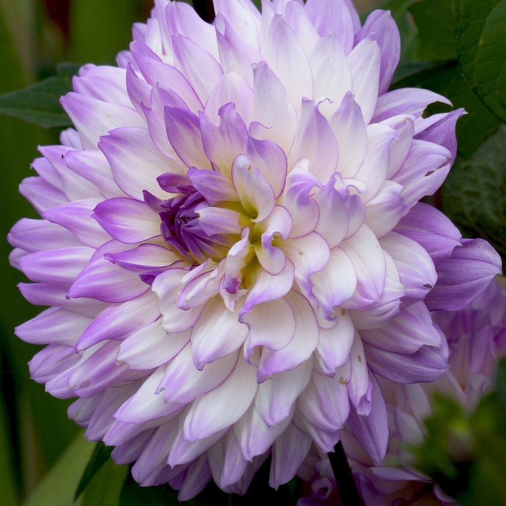 violet-3-copie