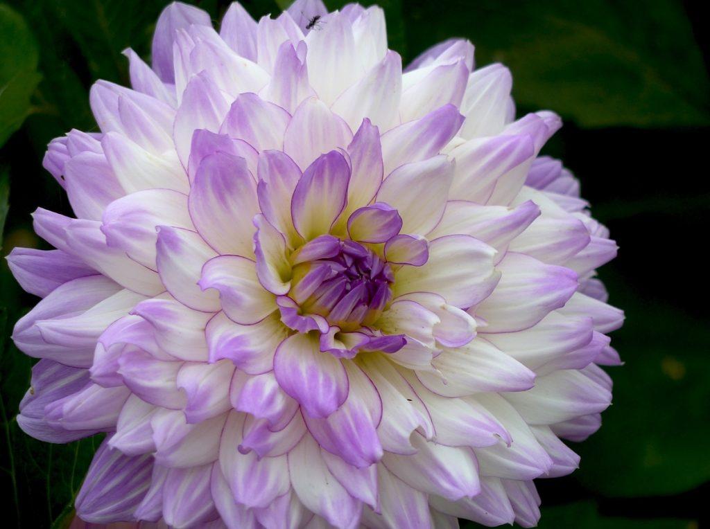 violet-5-copie