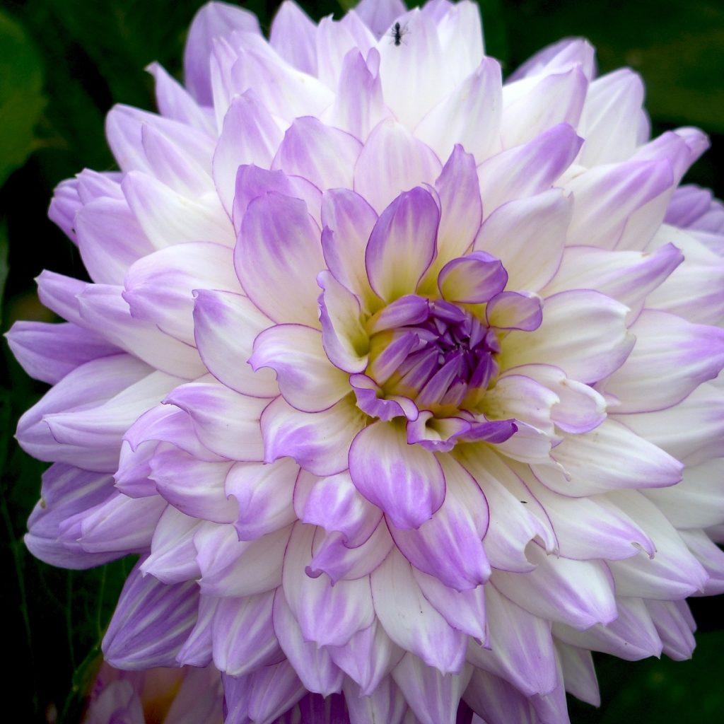 violet-6-copie