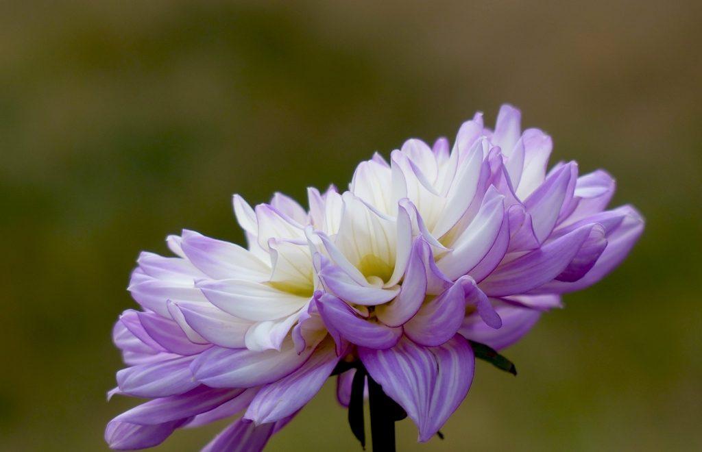 violet-7-copie