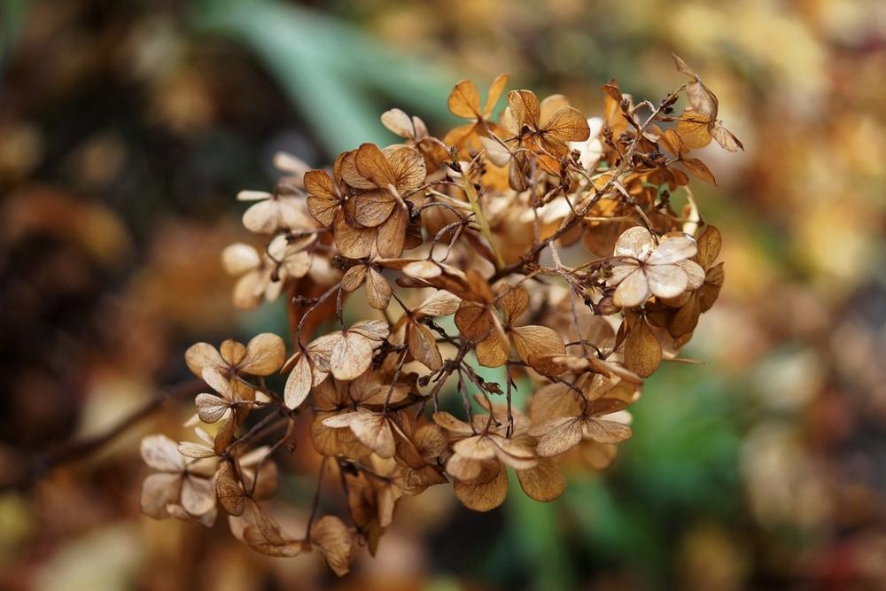 hortensia-a-panicules-hydrangea-paniculata-10