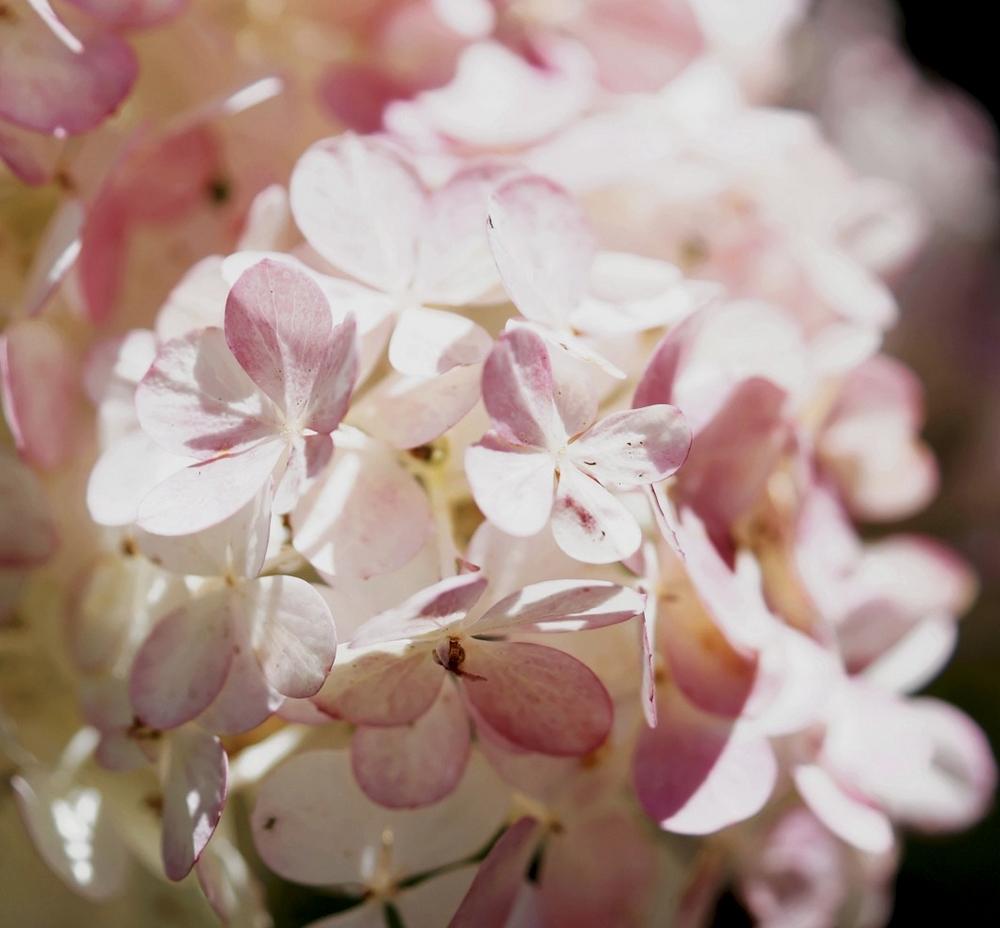 hortensia-a-panicules-hydrangea-paniculata-2