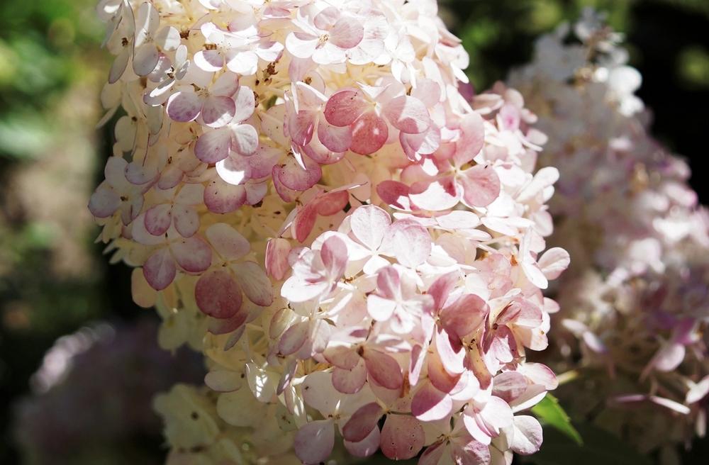 hortensia-a-panicules-hydrangea-paniculata-3