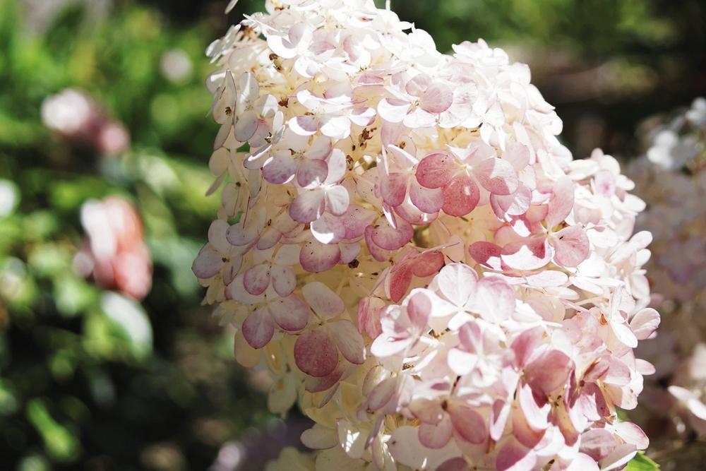 hortensia-a-panicules-hydrangea-paniculata-4