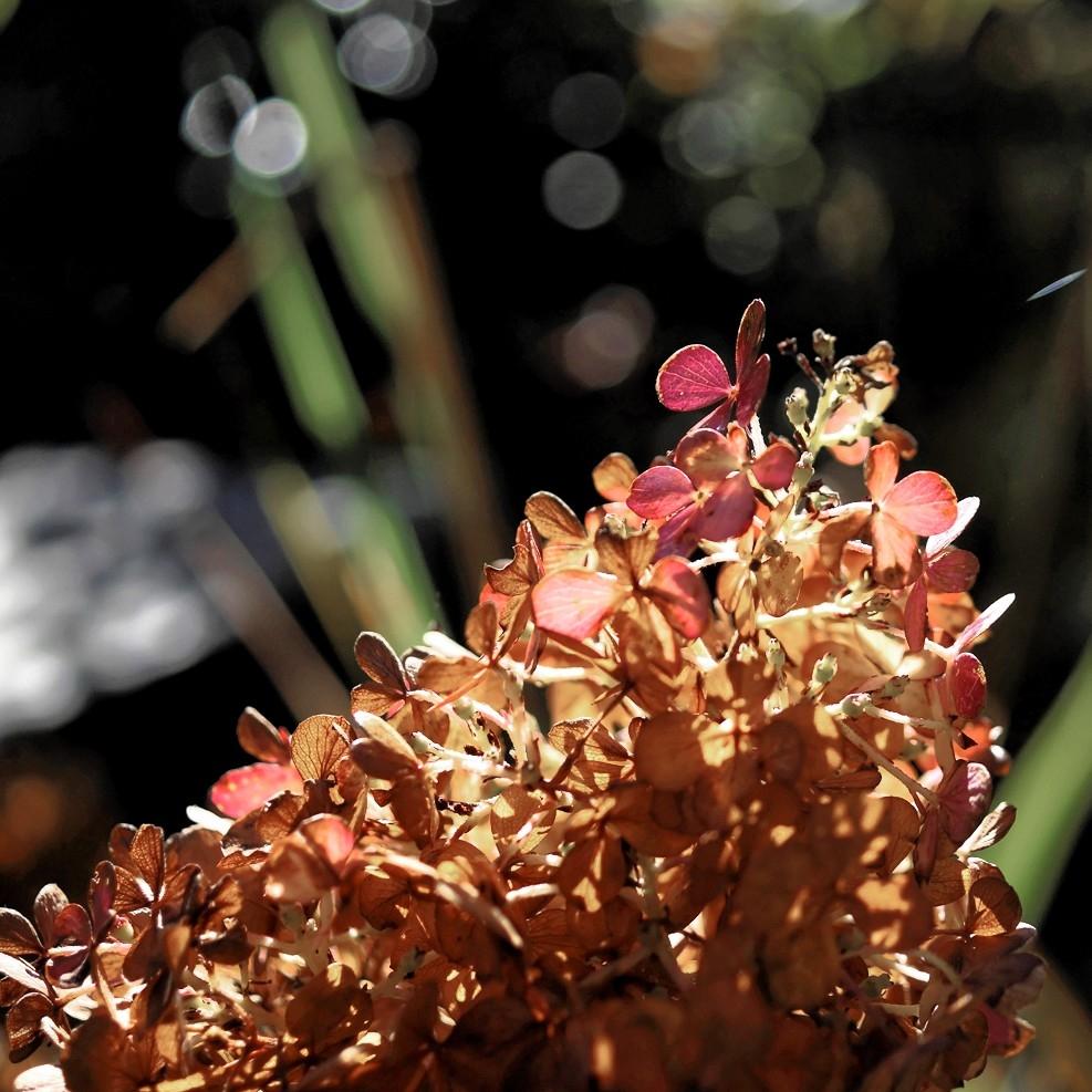 hortensia-a-panicules-hydrangea-paniculata-7