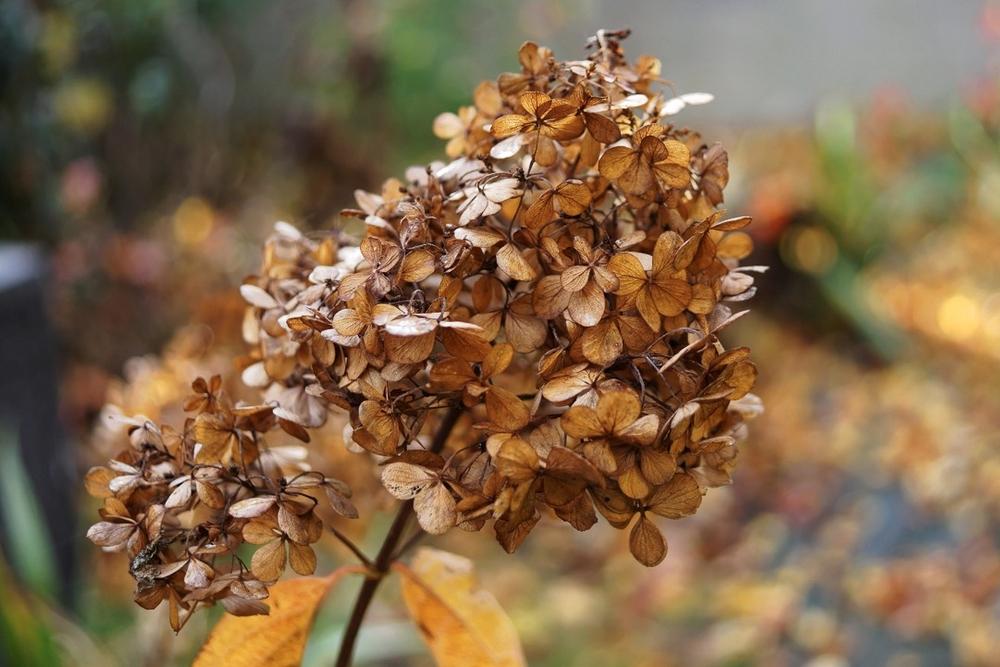 hortensia-a-panicules-hydrangea-paniculata-9