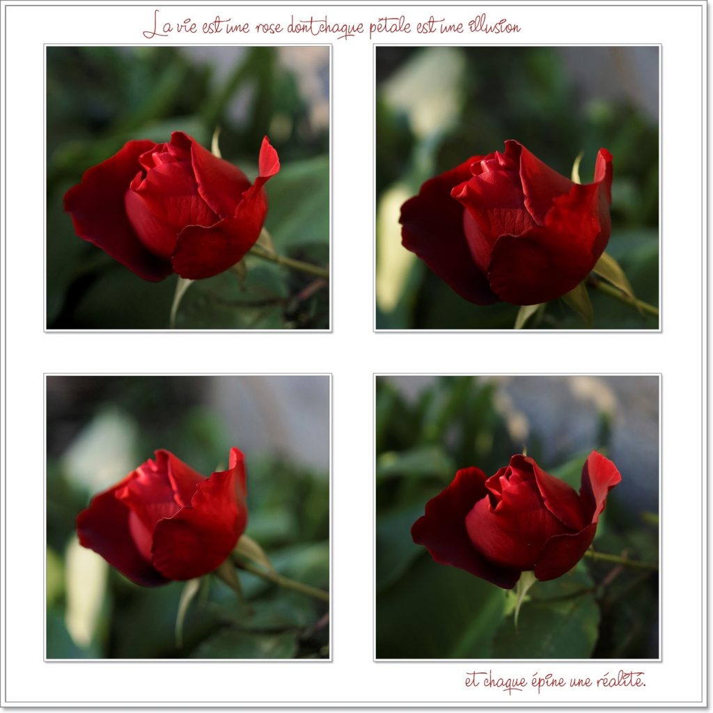 rose-rouge-1