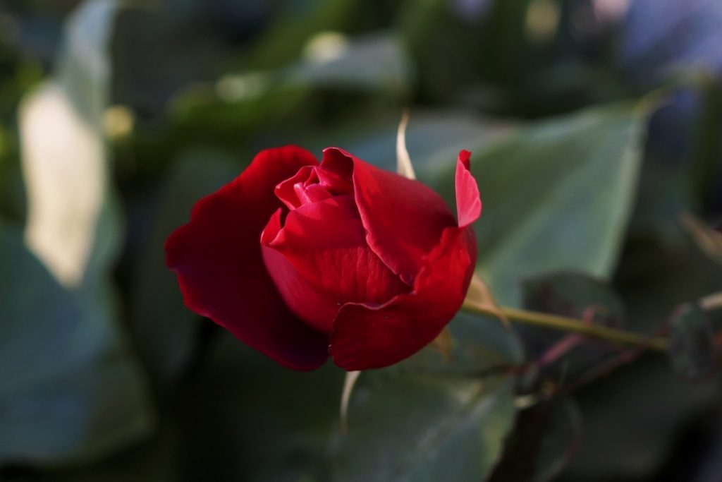 rose-rouge-3