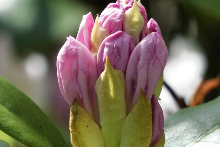 Rhododendrons (31)