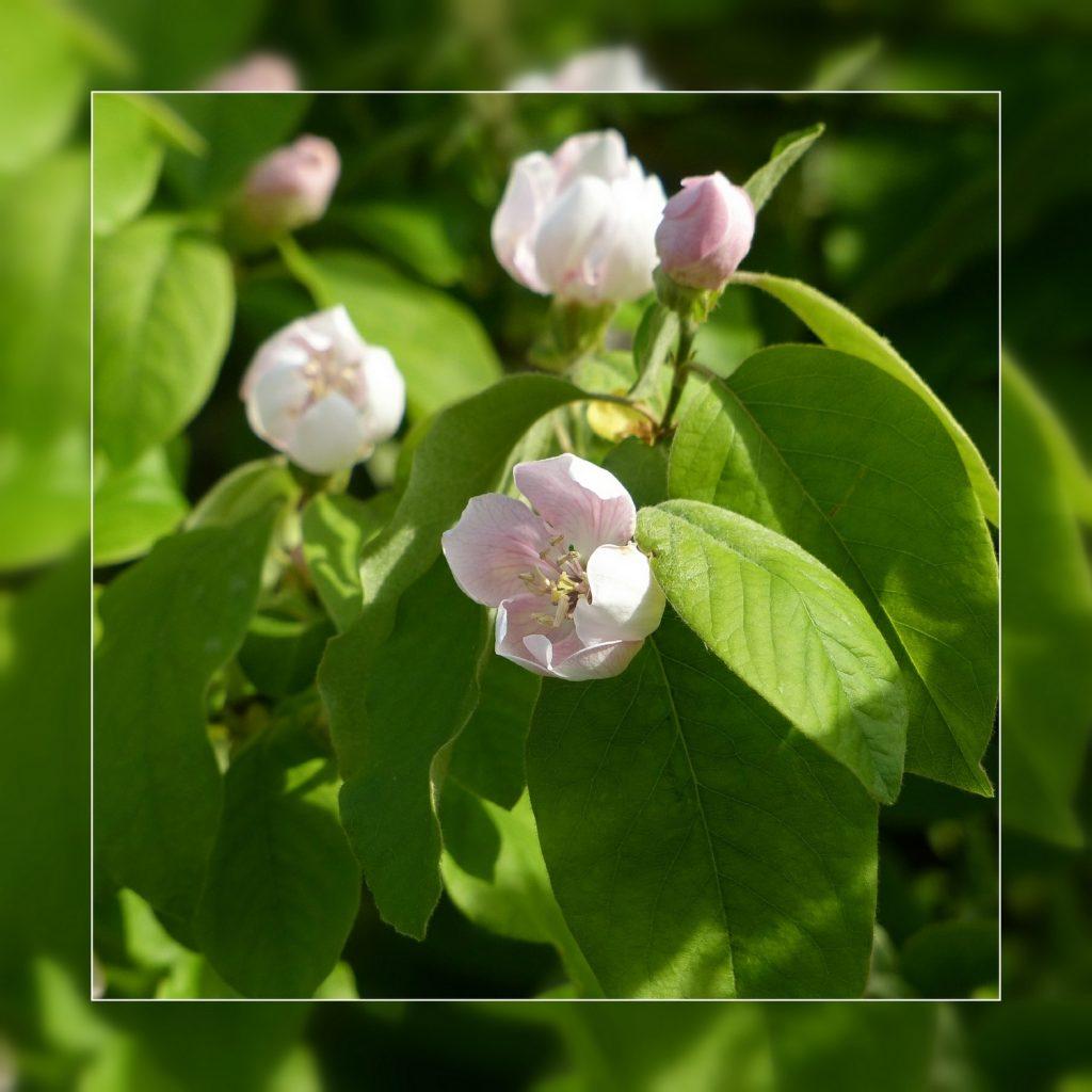 fleurs de cognassier (1)
