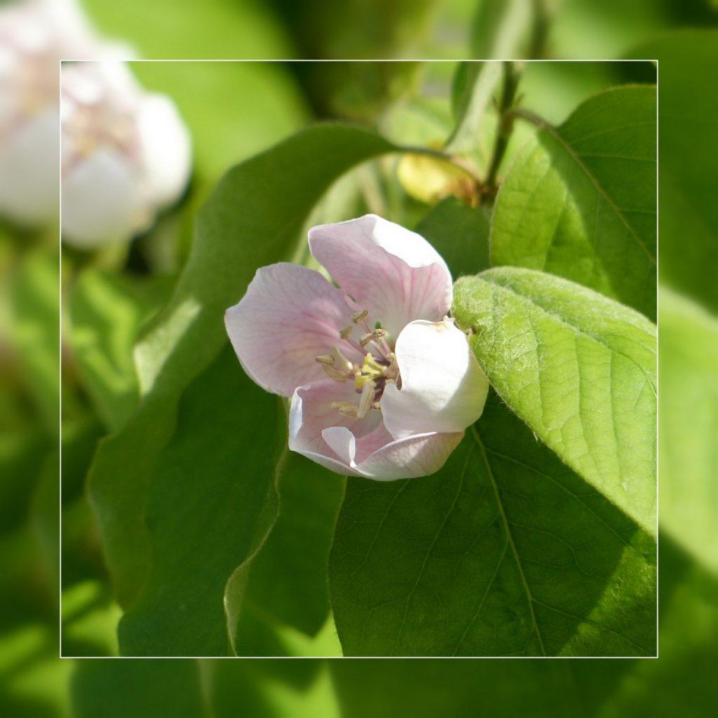 fleurs de cognassier (2)