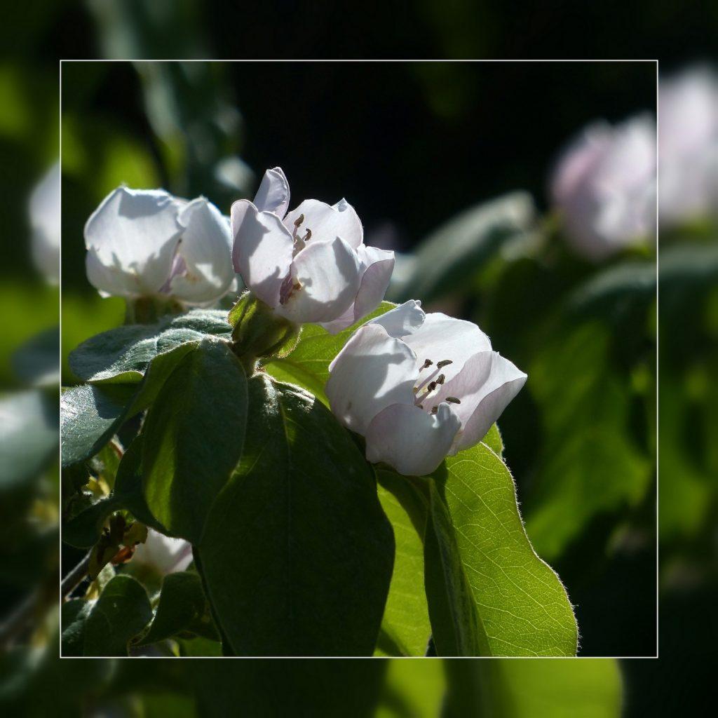 fleurs de cognassier (5)