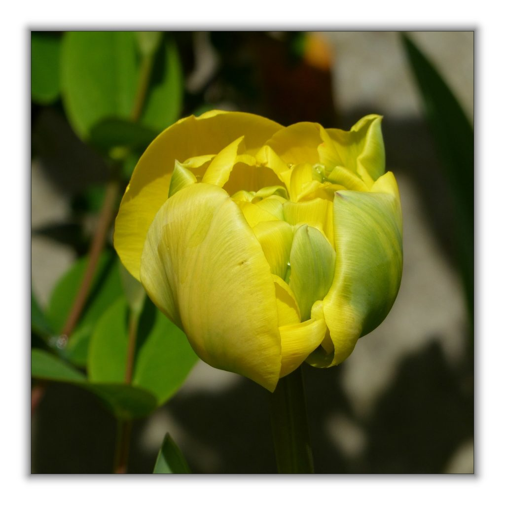 tulipes jaunes (2)