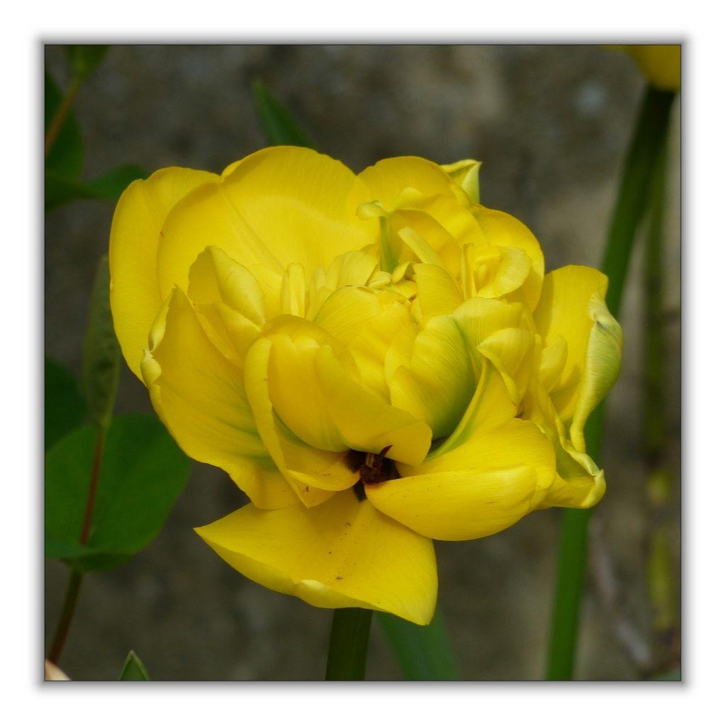 tulipes jaunes (3)